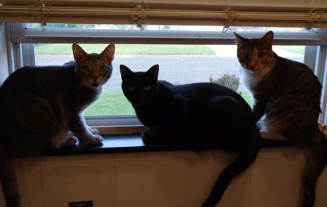 Meet Mrs. Partridge's cats, Scout, Marlena, & Grayson!